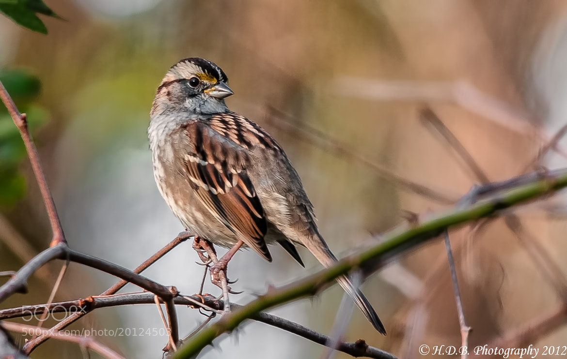 Photograph White Throated Sparrow by Harold Begun on 500px