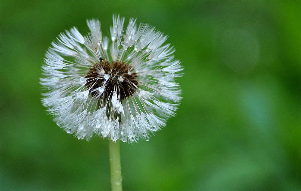Photograph Wet Dandelion by Laurette van der Merwe on 500px