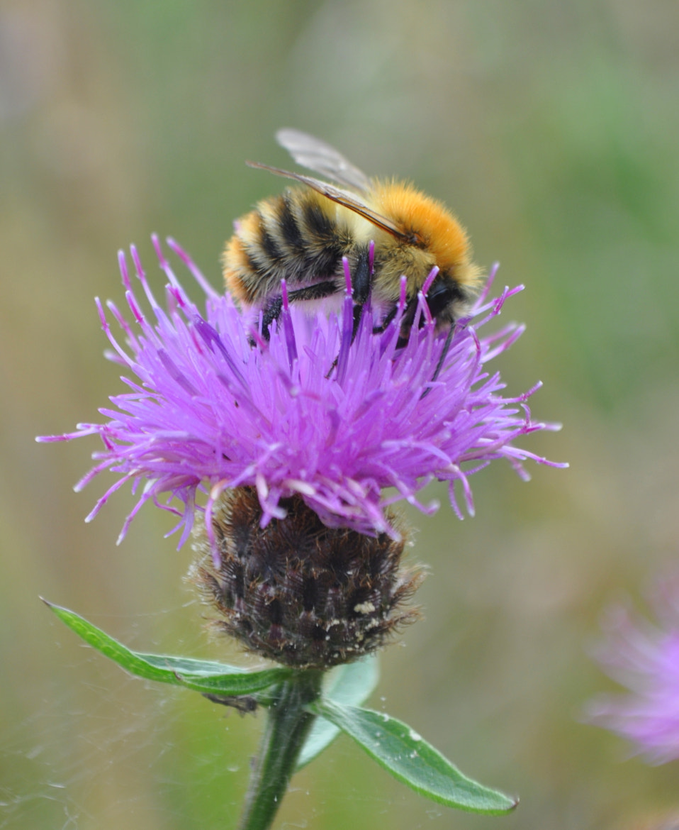 Photograph Common carder bee, Bombus pascuorum by Paul Quigley on 500px
