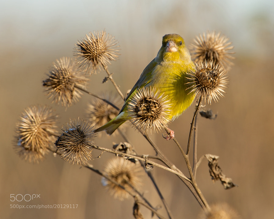 Photograph Greenfinch by Erik Veldkamp on 500px