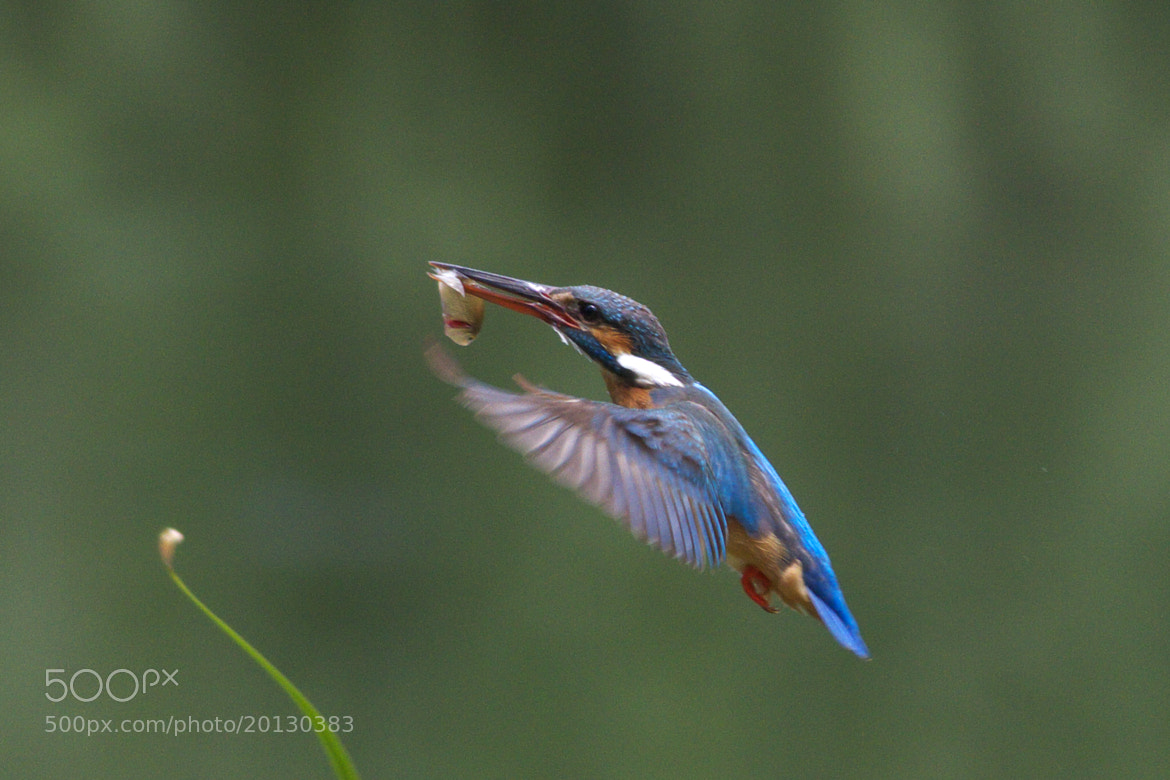 Photograph Kingfisher 24 by Yellow Monkey on 500px
