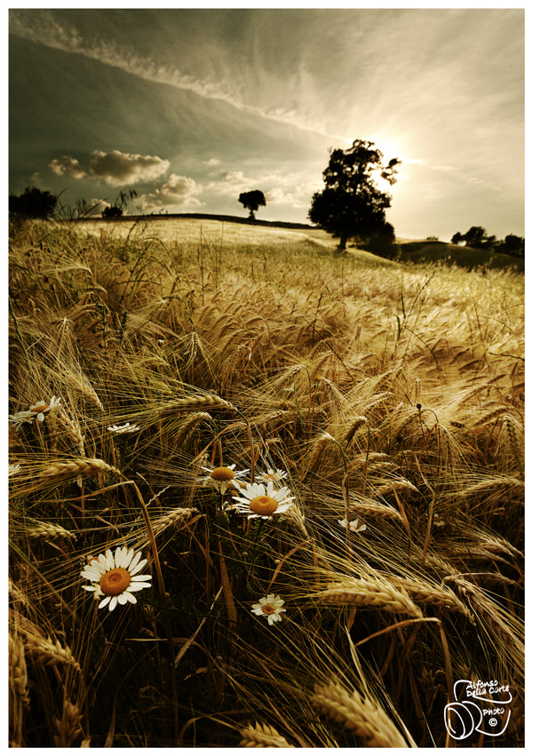 Photograph Flowers and Wheat by Alfonso  Della Corte  on 500px