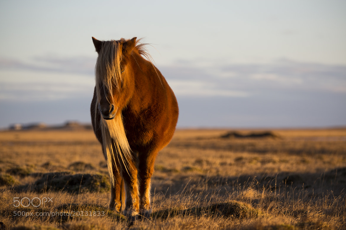 Photograph Icelandic Horse by Craig  Mann on 500px