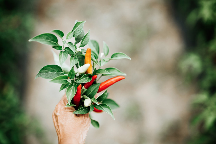 Chilli Peppers by Gabriela Tulian on 500px.com