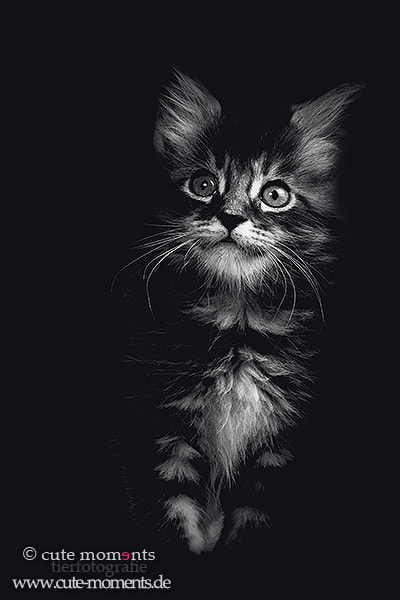 Photograph Maine Coon by Jessica Lipki on 500px