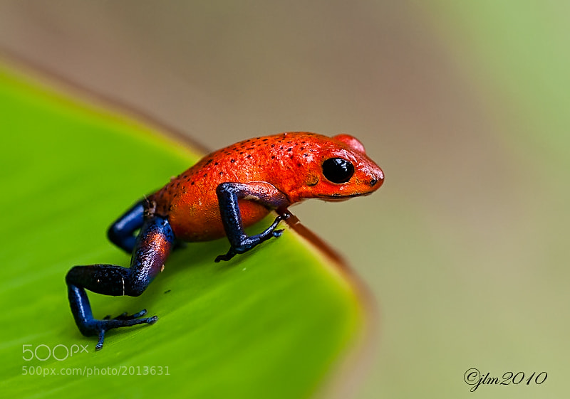 This is an image of a  little red dart frog from Costa Rica and they are poisonous.  The common name for these little frogs is blue jeans .