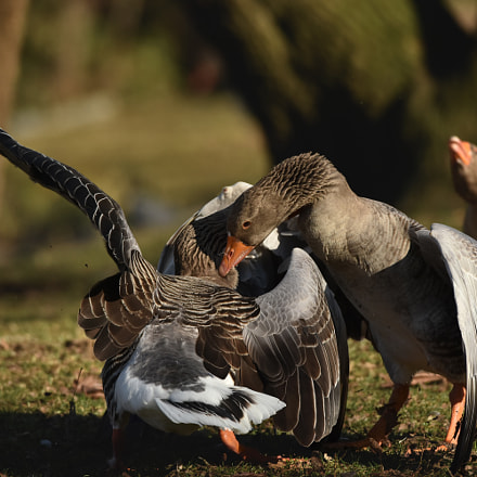 Gooses fighting, Nikon D7200, Sigma APO 500mm F4.5 EX HSM
