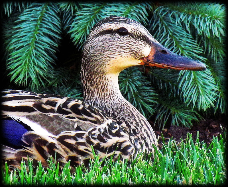 Photograph Going Quackers by Sue  Scimeca on 500px
