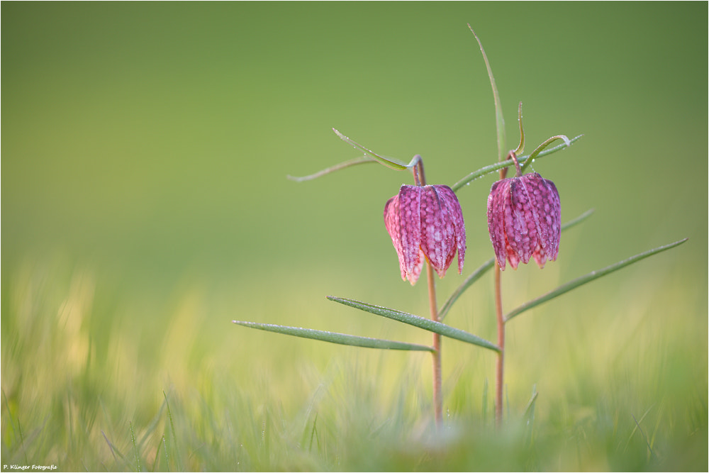 Photograph Fritillaria meleagris by Philip Klinger on 500px