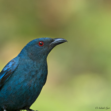 Asian fairy blue bird, Canon EOS-1D X, Canon EF 500mm f/4L IS II USM
