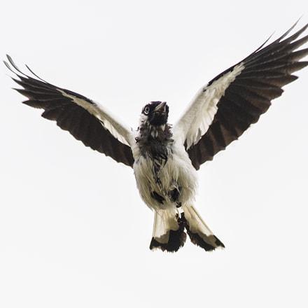 Magpie lark in flight