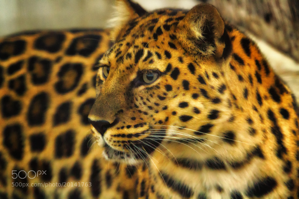 Photograph Amur Leopard by Linda Tiepelman on 500px