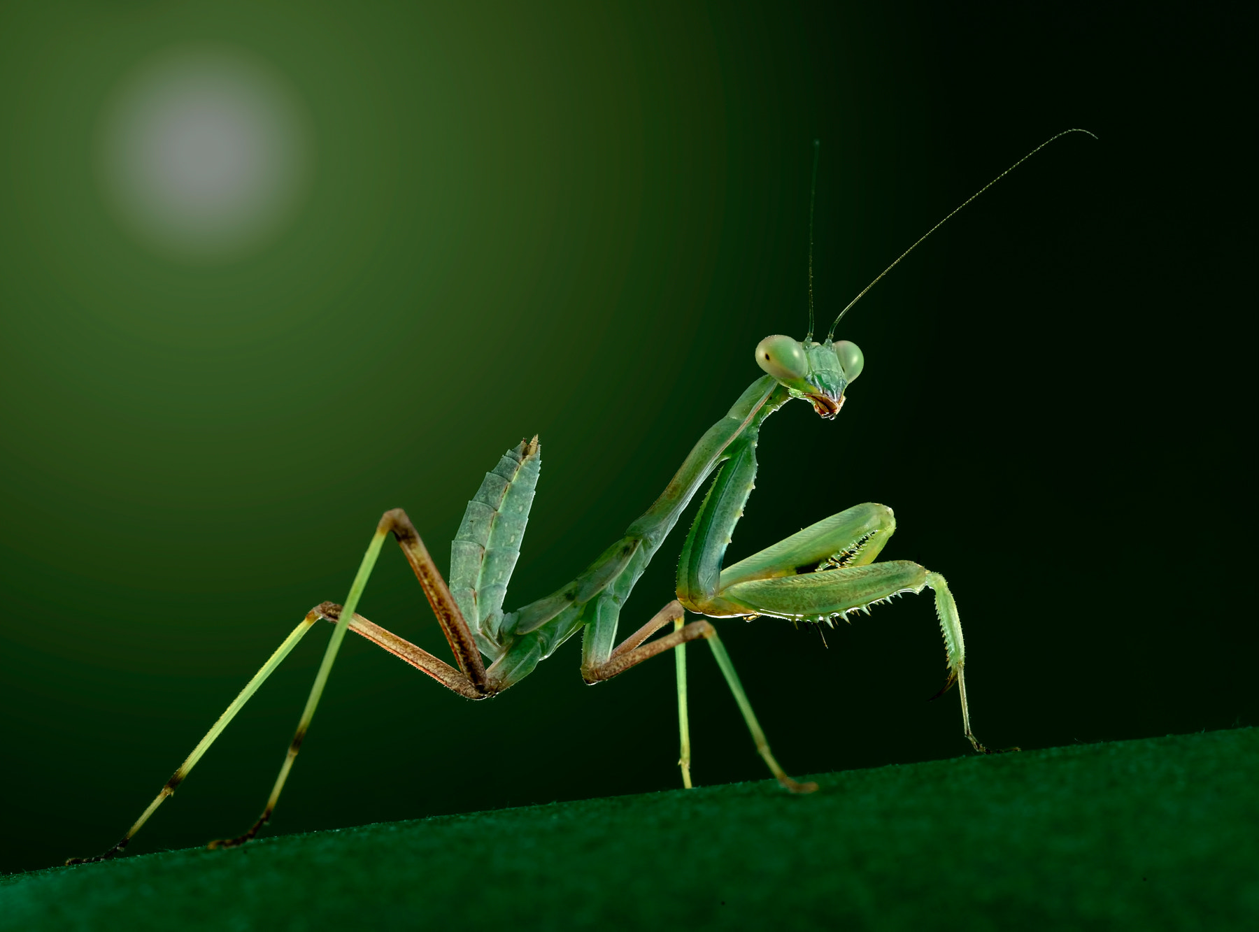 Photograph mantis by Charles Charalambous on 500px