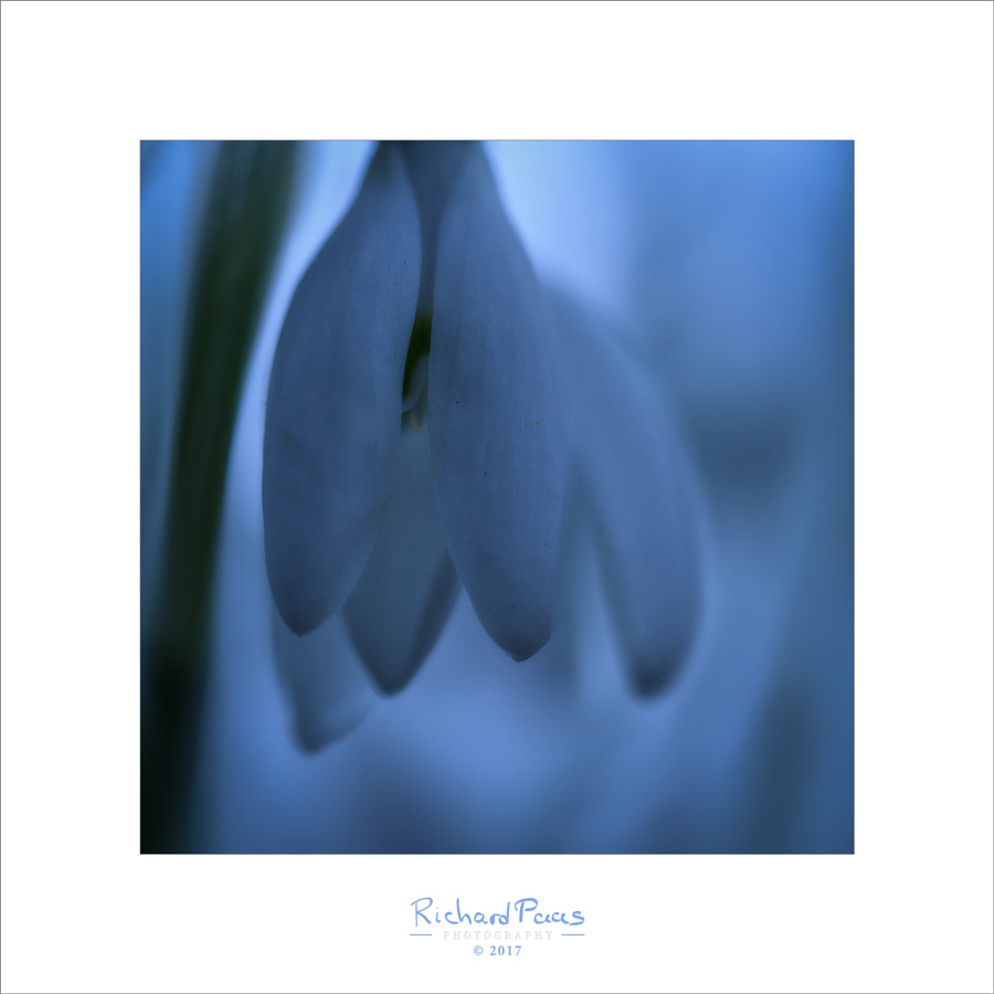Snowdrop in the morning (Galanthus nivalis) by Richard Paas on 500px.com