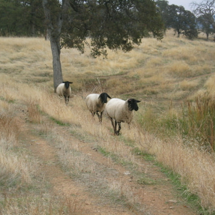 3 Sheep on the, Canon POWERSHOT S230
