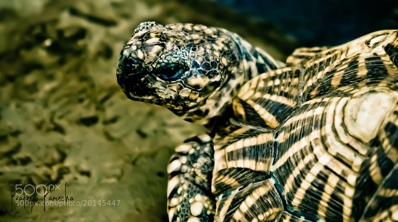 Photograph Blue eyed Tortoise  by Prateek Pamecha on 500px