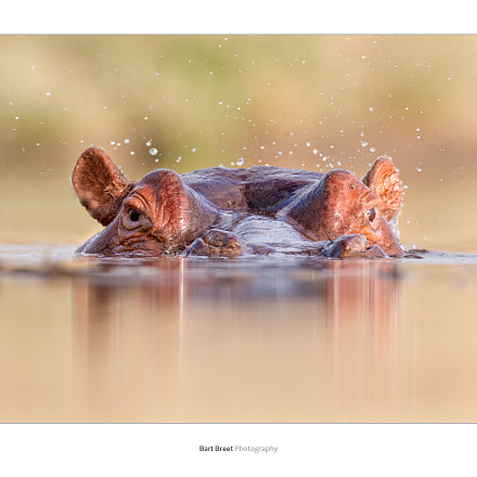Curious hippo, Canon EOS-1D X, Canon EF 600mm f/4L IS + 1.4x