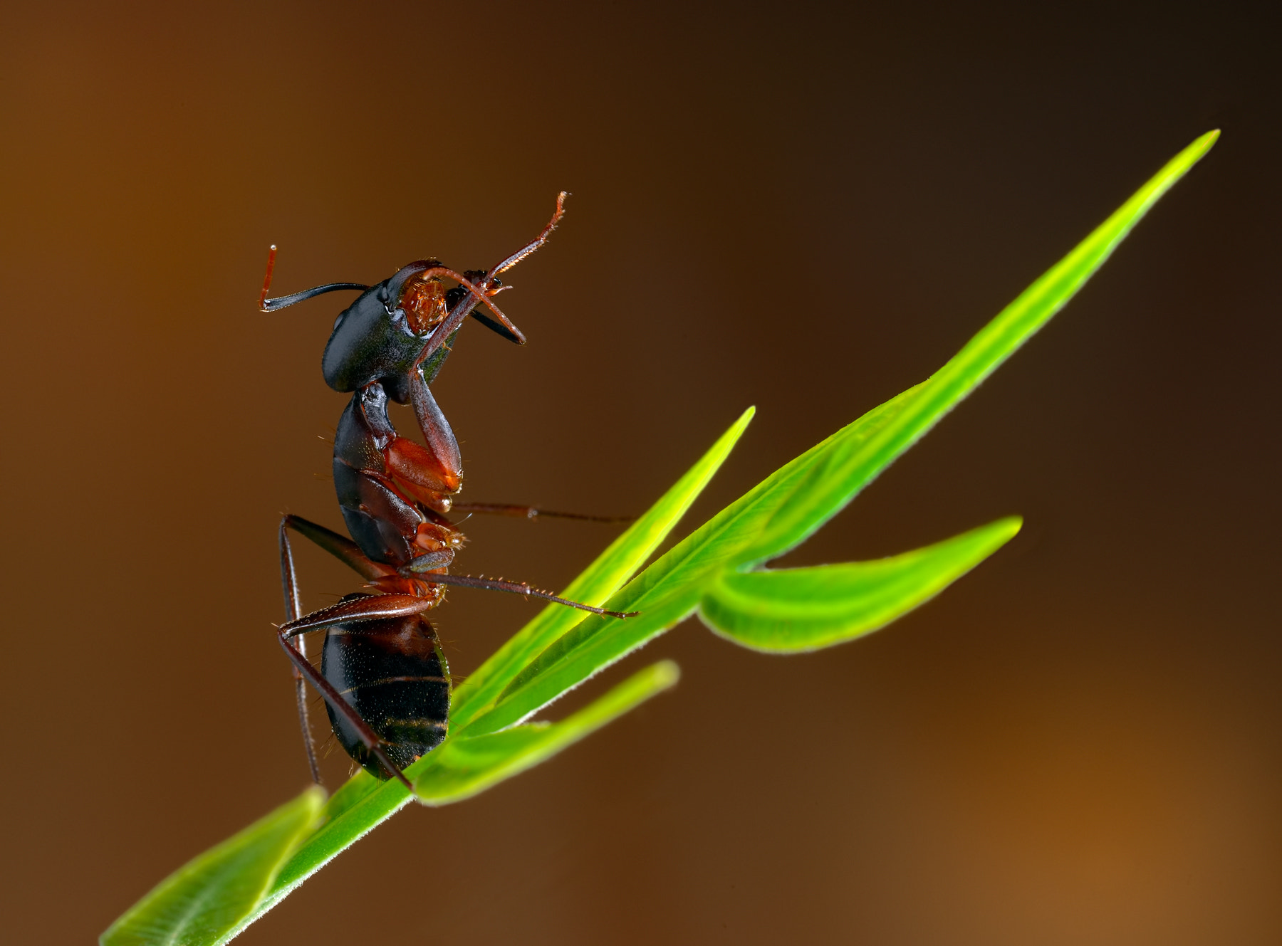 Photograph Ant on leaf by Charles Charalambous on 500px