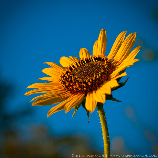 Photograph Sunflower by Ryan Heffron on 500px