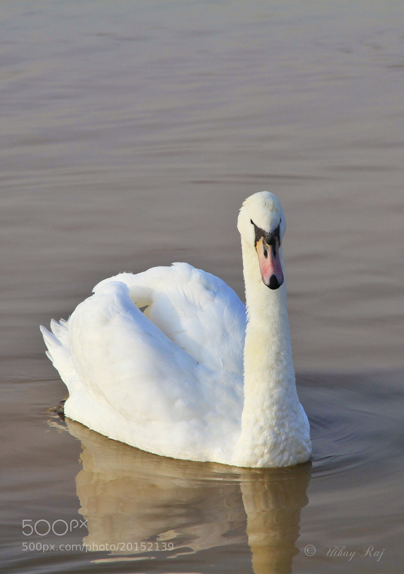 Photograph The White Swan by Uthay  Raj on 500px