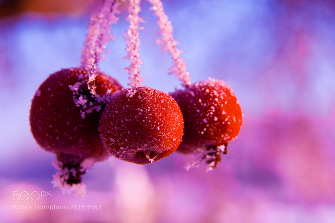 Photograph Frosty Hawthorns by Ivo Dukic on 500px
