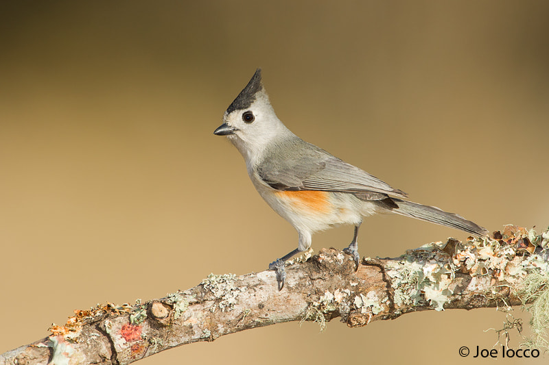 Photograph Tufted Titmouse-Black Crested by Joe Iocco on 500px