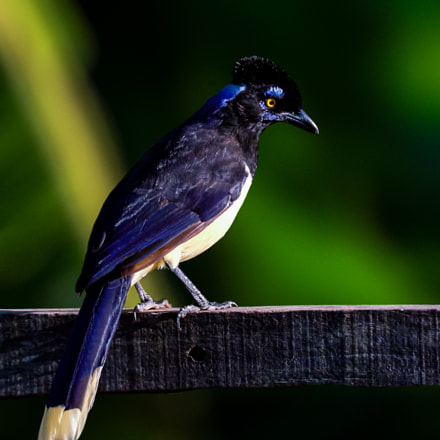 Plush-crested Jay (Cyanocorax chrysops), Canon EOS 70D, Canon EF 100-400mm f/4.5-5.6L IS USM