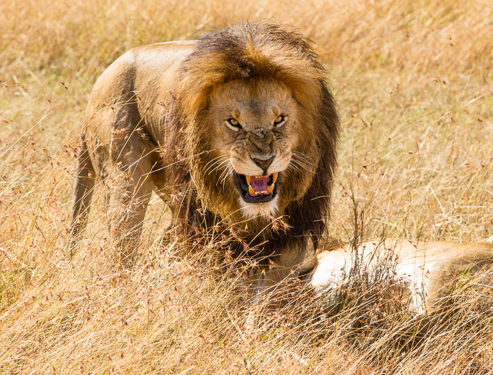 Photograph Lion, Kenya by Martin Weinberger on 500px