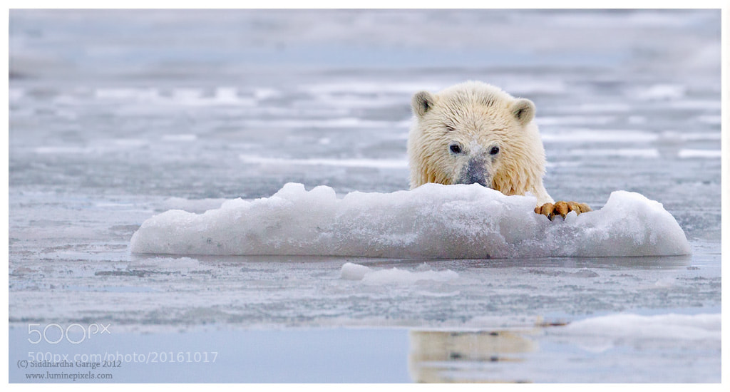 Photograph Ice Bears of Arctic - 8 by Siddhardha Garige on 500px