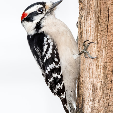 Male Downy Woodpecker, Nikon D500, AF-S Nikkor 500mm f/4D IF-ED II