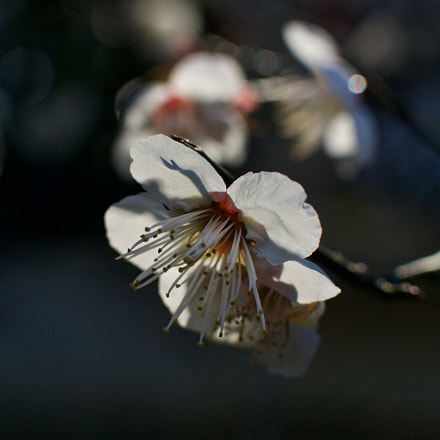 Plum Blossoms, Nikon 1 J2, 1 NIKKOR 18.5mm f/1.8