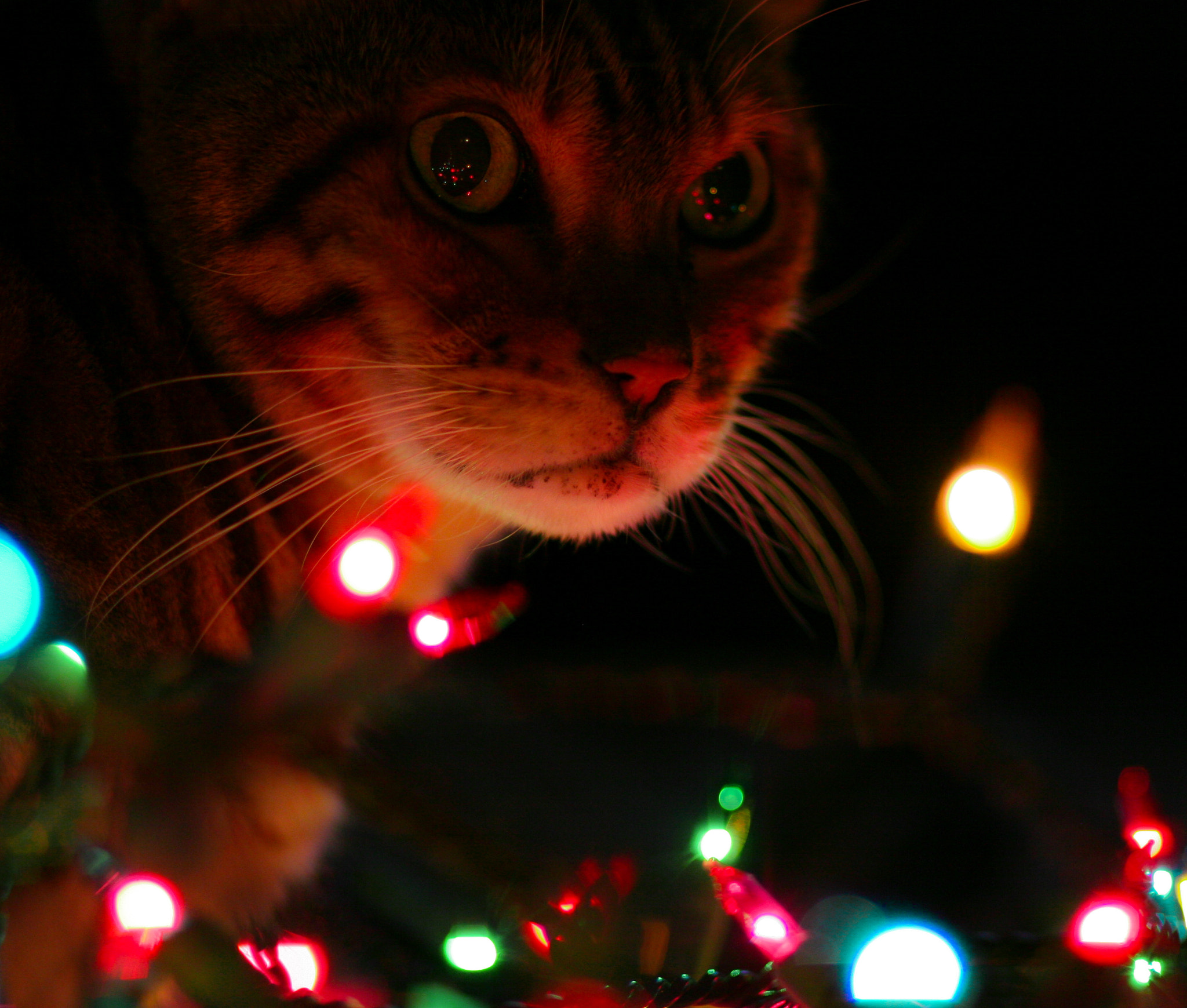 Photograph Christmas Cat by Chantal Brousseau on 500px