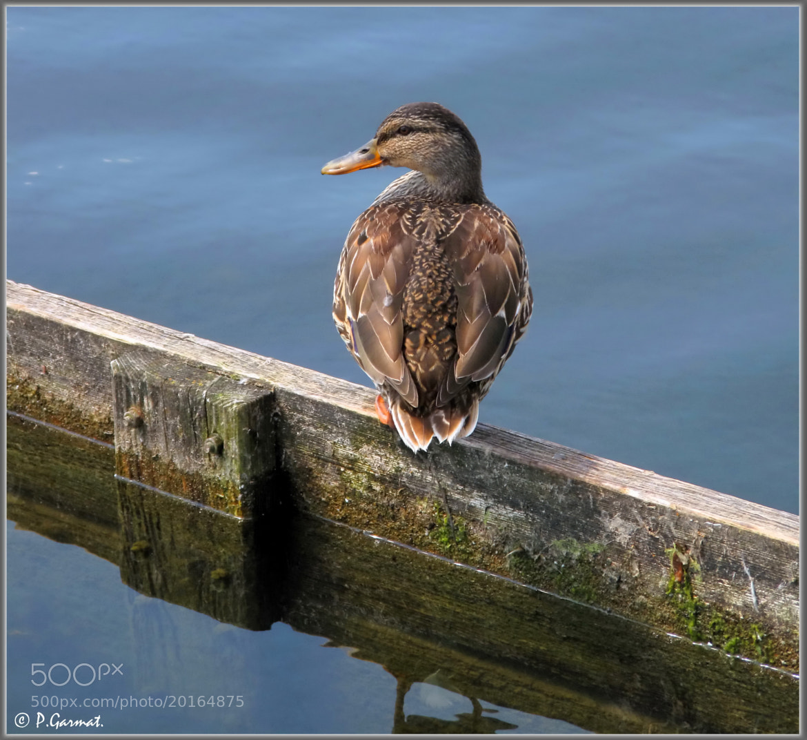 Photograph  Duck  by Garmatis Pantelis on 500px