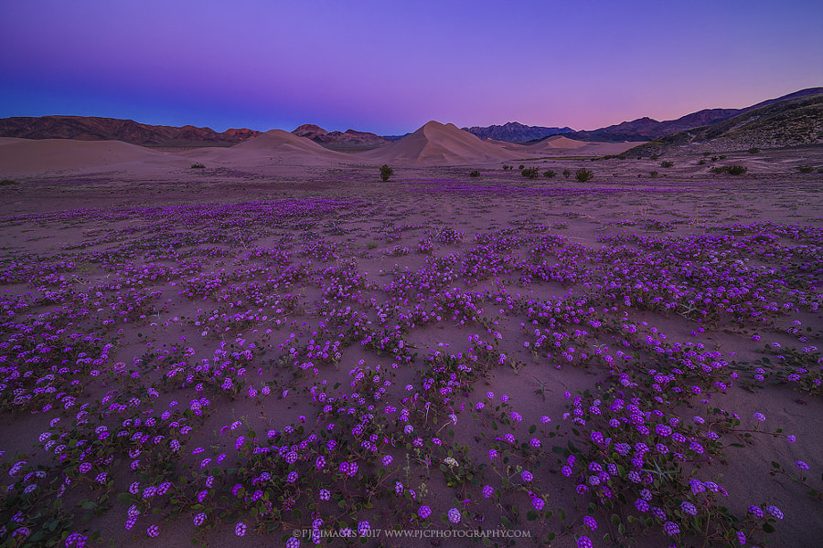 Verbena Gone Wild by Peter Coskun Nature Photography  on 500px.com