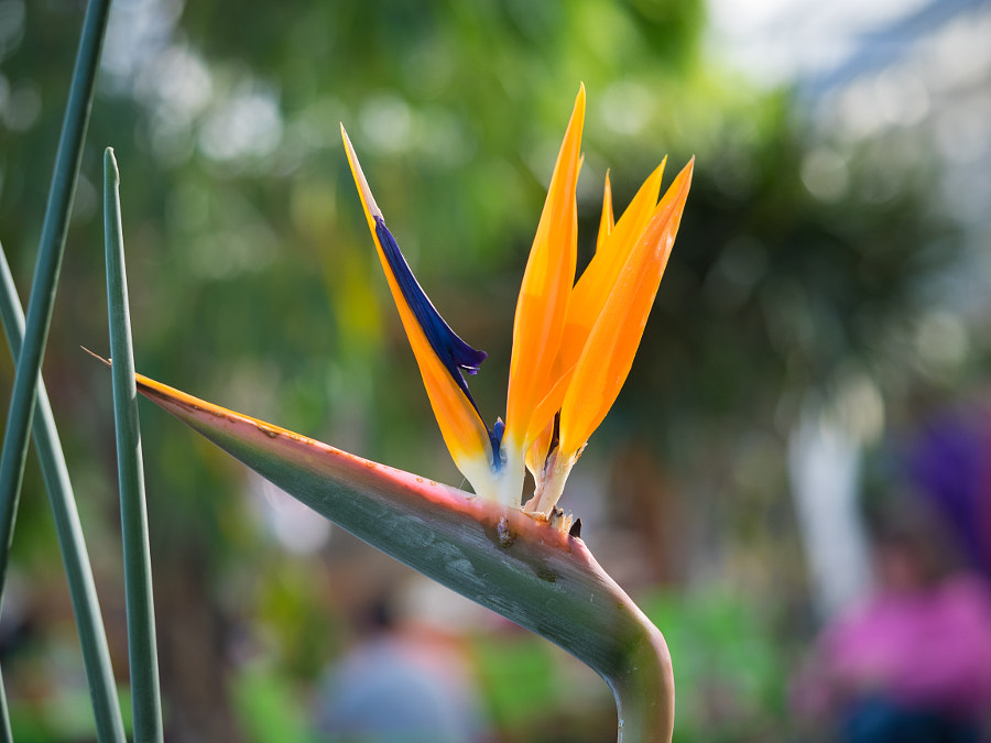 Bird of Paradise Flower by John Poltrack on 500px.com