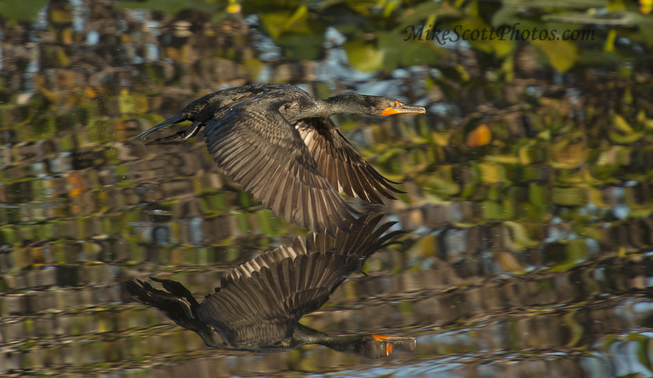 Photograph Anhinga Reflecting by MikeScottPhotos  on 500px