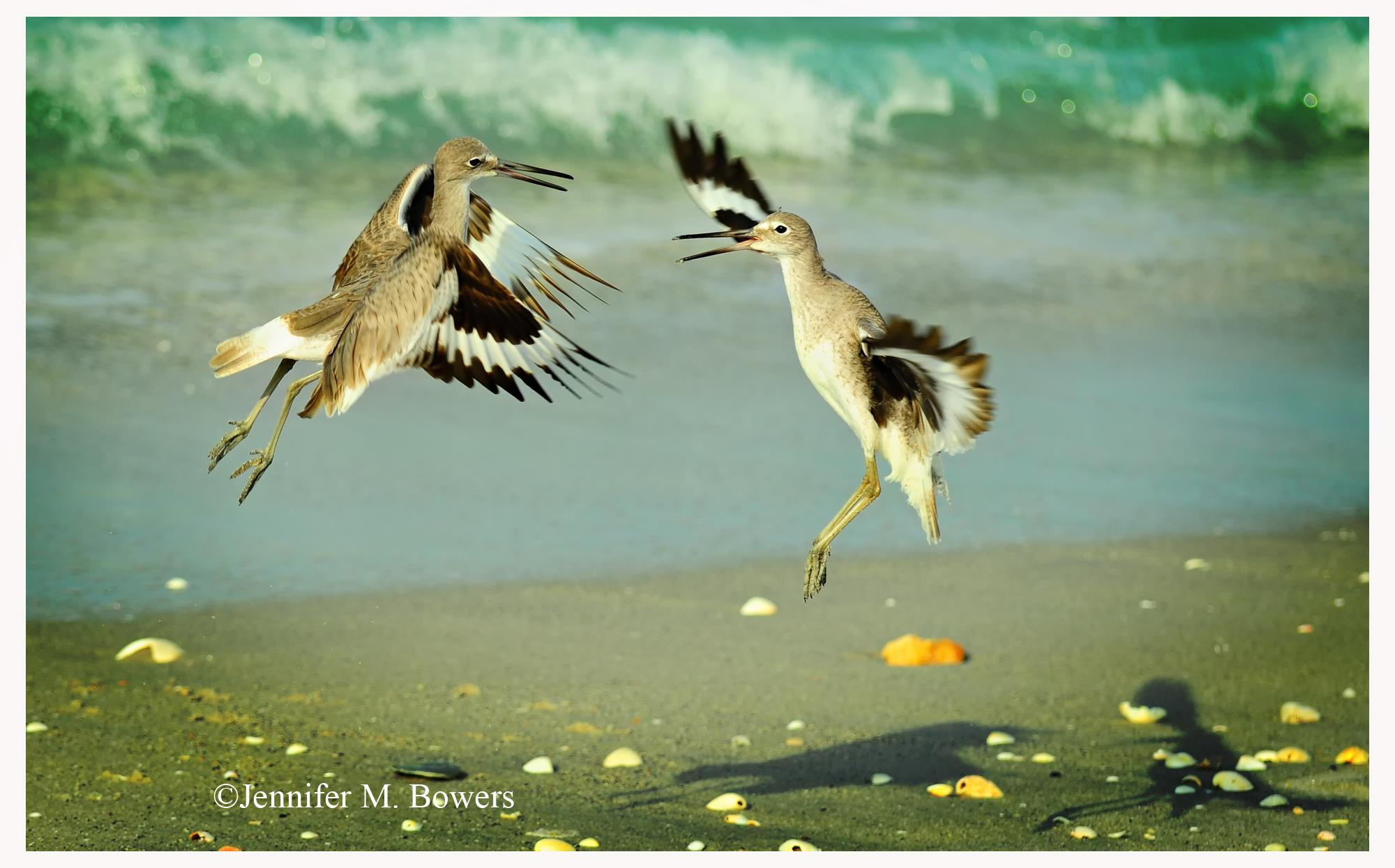 Photograph Dance of the Willets by Jenn Bowers on 500px