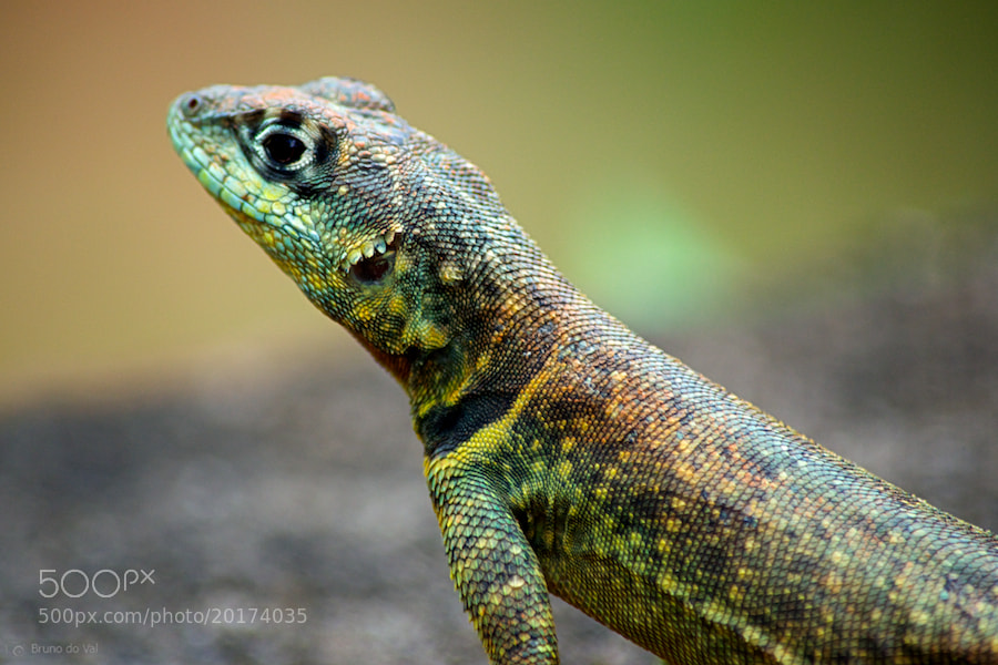 Photograph Lizard by Bruno do Val Benes on 500px