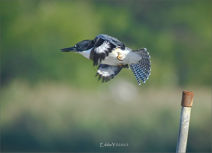 Photograph Belted Kingfisher Taking Off by Eddie Yu on 500px