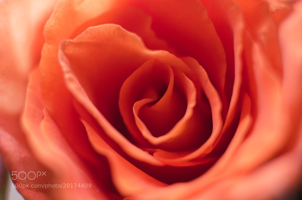 Photograph Rose by Heart Disk on 500px