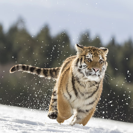 run tiger, Canon EOS 7D MARK II, Canon EF 200-400mm f/4L IS USM