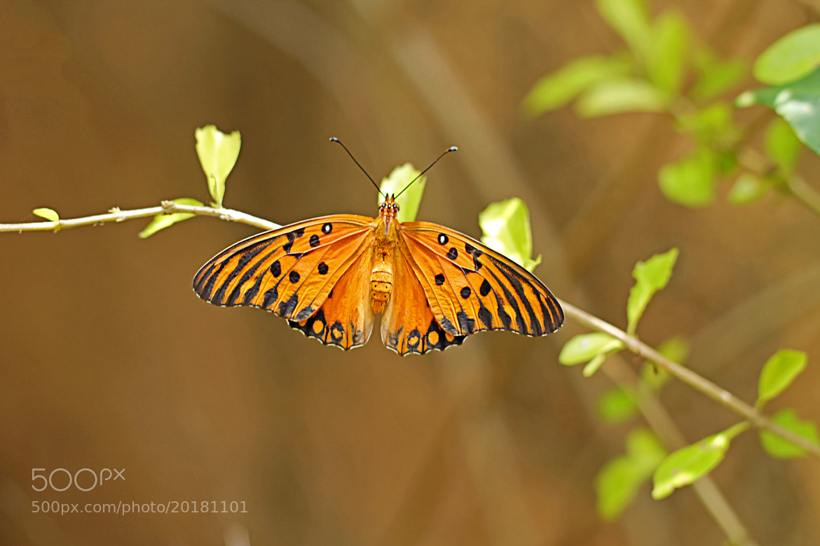 Photograph Agraulis Vanillae Butterfly by  Soli Rocha on 500px
