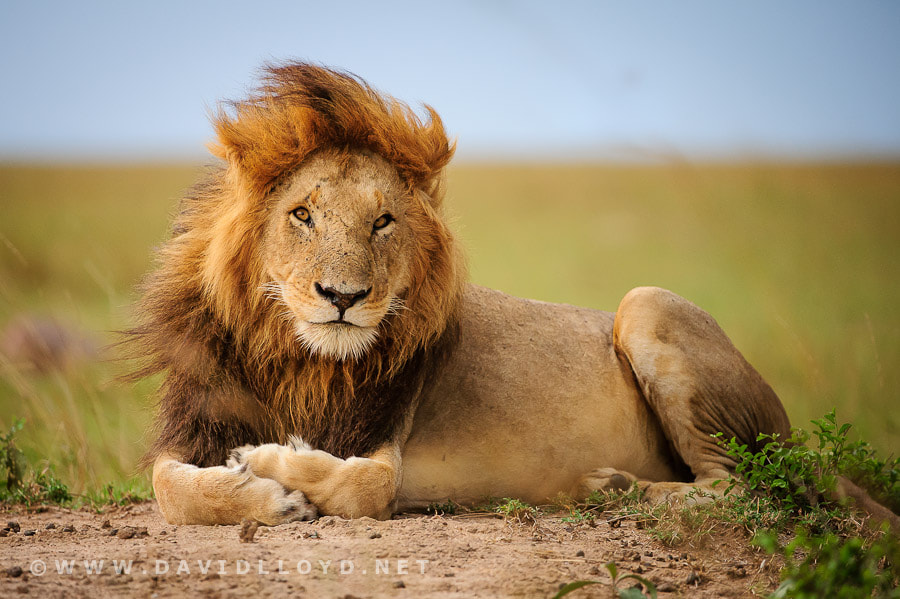 Photograph A Lion Called Ron by David Lloyd on 500px