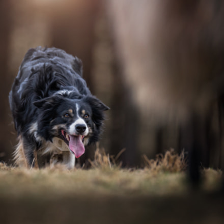 Working Sheepdog - Amber, Canon EOS-1D X, Canon EF 200mm f/2.8L II