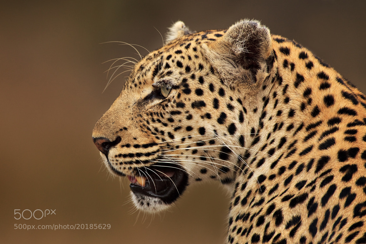 Photograph Panthera Pardus Profile by Xenedis  on 500px