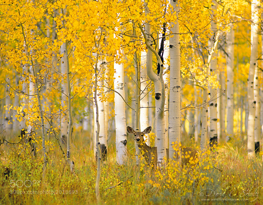 A Deer in Autumn Aspens by David C. Schultz
