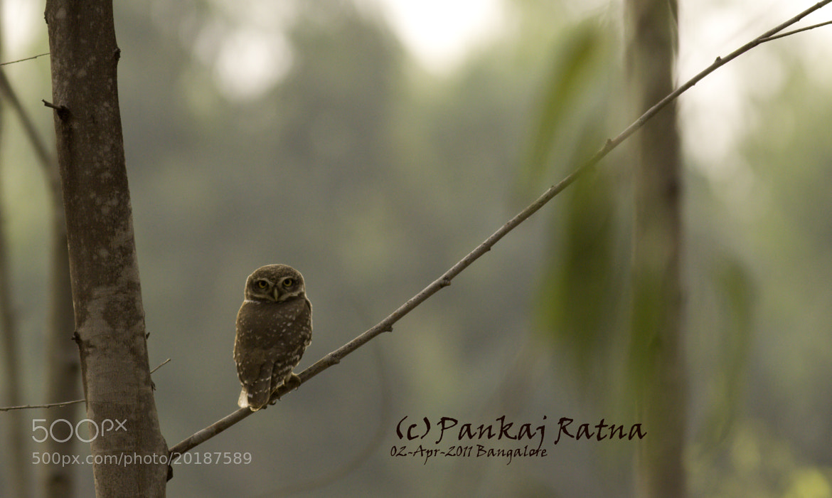 Photograph Spotted Owlet by Pankaj Ratna on 500px