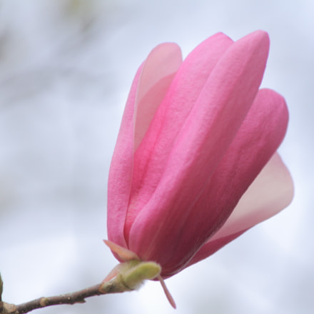Hot pink blossom, Canon EOS REBEL T2I