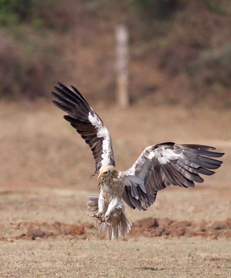 Photograph Egyptian Vulture by Pankaj Ratna on 500px