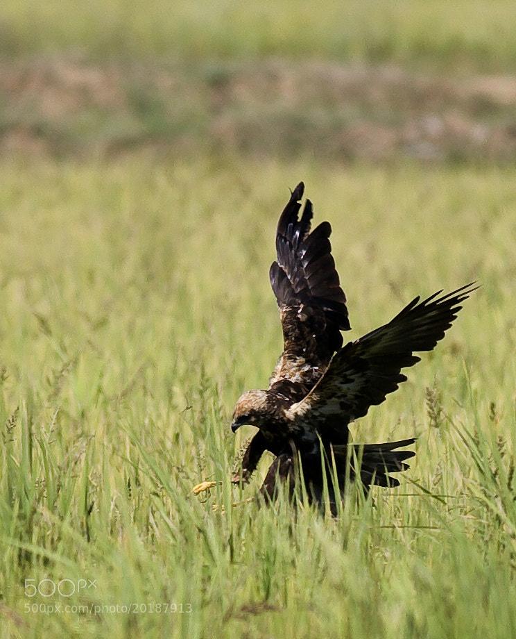 Photograph Marsh Harrier by Pankaj Ratna on 500px